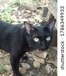 Small photo of black cat with the watchful eye, aloof in the nature.Thai cat.cute and naughty of kitten or cat concept.pet animal. Cat crossbreed.Soft focus,Select focus