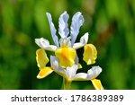 Colorful Iris Flowers Shining...