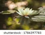 Beautiful Water Lily. In Summer ...