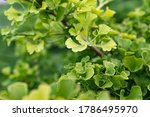 Fresh Bright Green Ginkgo...