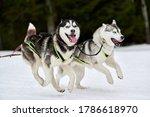 Running Husky Dog On Sled Dog...