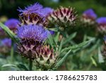 A Bed Of Purple Cardoons In...