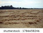 Wheat Field Flattened By Rain ...