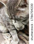 A Gray Tabby Cat Sits On A Log...