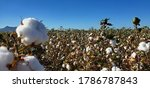A field of cotton plants ready to be harvested, white puffy balls of natural fibers sit on the ends of brown dried branches and stems of the cotton plant. Blue skies and a mountain in the background.