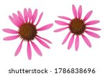 Echinacea Flowers Isolated On...