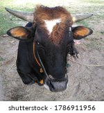 A Cow Sat Crouched Under A...