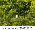 A Snowy Egret Perched In A Tre...