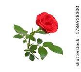 Sprig Of Flowering Red Rose...