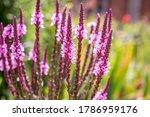 Purple Verbena Hastata Flowers...