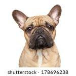 French Bulldog. Close Up...