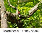 The Pileated Woodpecker Sittin...