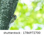 A Black Cicada On The Tree In...