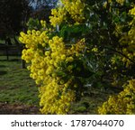 Wattle Tree Flowering On Sunny...