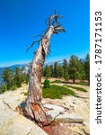 Dead Tree Of In Yosemite...