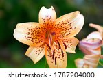 Tiger Lily Flowers Close Up On...