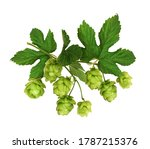 Branch Of Hops With Green Cones ...