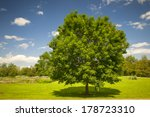 Large Single Maple Tree On...