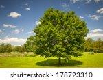 Large Single Maple Tree On...