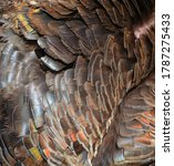 The Wild Turkey Feathers  Is A...