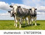 Muscular Beef Cows  Belgian...