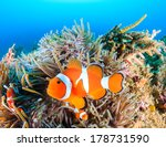 Clownfish swim around their...