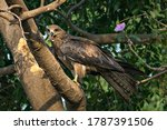 Black Kite Bird With Food...