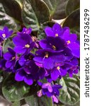 African Violets In Vibrant...