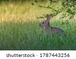 The eastern cottontail rabbit...