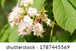 Tree Chestnut Blossom In The...