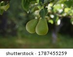 Fruit On A Branch. Green Pears...