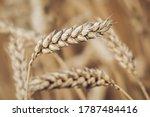 Wheat Field In Summer ...