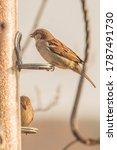 Sparrow Pair On Bird Seed Feeder