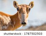 Saiga Antelope Or Saiga...