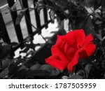 Color Splash With Red Rose