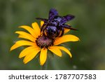 In The Photo  A Carpenter Bee...