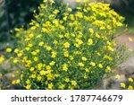 Yellow Field Flowers Grow In...