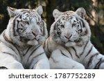 Beautiful White Tigers In...