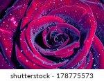 Rose With Water Drops. Macro...