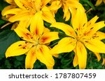 Close Up Of Yellow Lily Flower. ...
