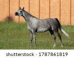 Beautiful Gray Arabian Horse...