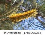 Yellow bottle brush flower on an Australian silky-oak plant. Grevillea robusta.