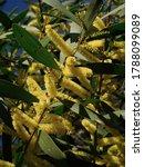 Yellow Australian Wattle In...