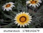 The Daisy Flowers Are Blooming
