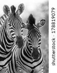 Zebra Mare And Foal Standing...