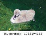 Little Baby Swan Bird. Macro...