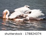 Group Of Great White Pelicans