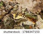 The Swallowtail  Lat. Papilio...