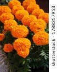 Marigolds Orange Color  Tagetes ...
