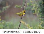 Southern Masked Weaver On Branch